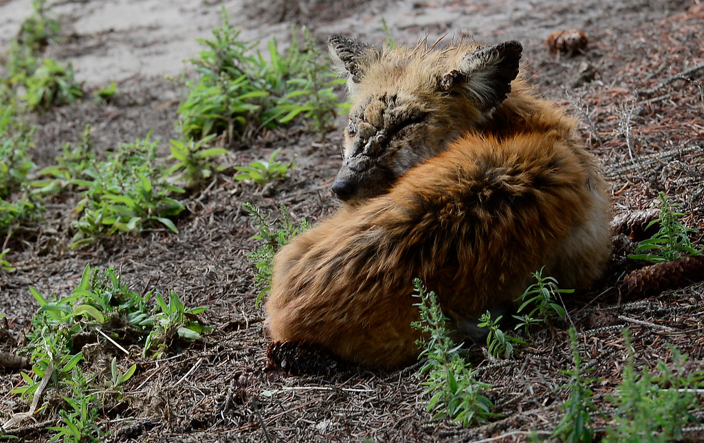 Description of . A young fox, that was still alive, rests underneath a tree along S. Bowen Street Saturday morning, Sept. 14, 2013. (Lewis Geyer/Times-Call)