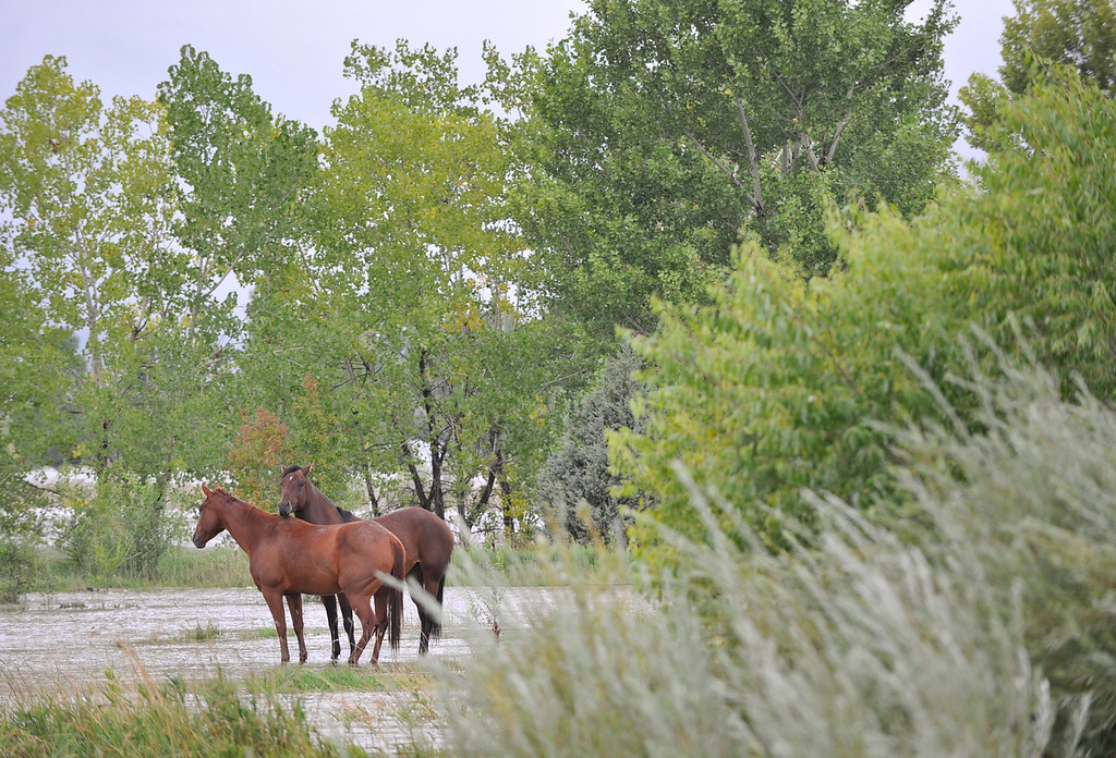 Description of . Two horses are seen standing in the flood water near Hygiene Road and North 75th, Thursday, Sept. 12, 2013, near Hygiene