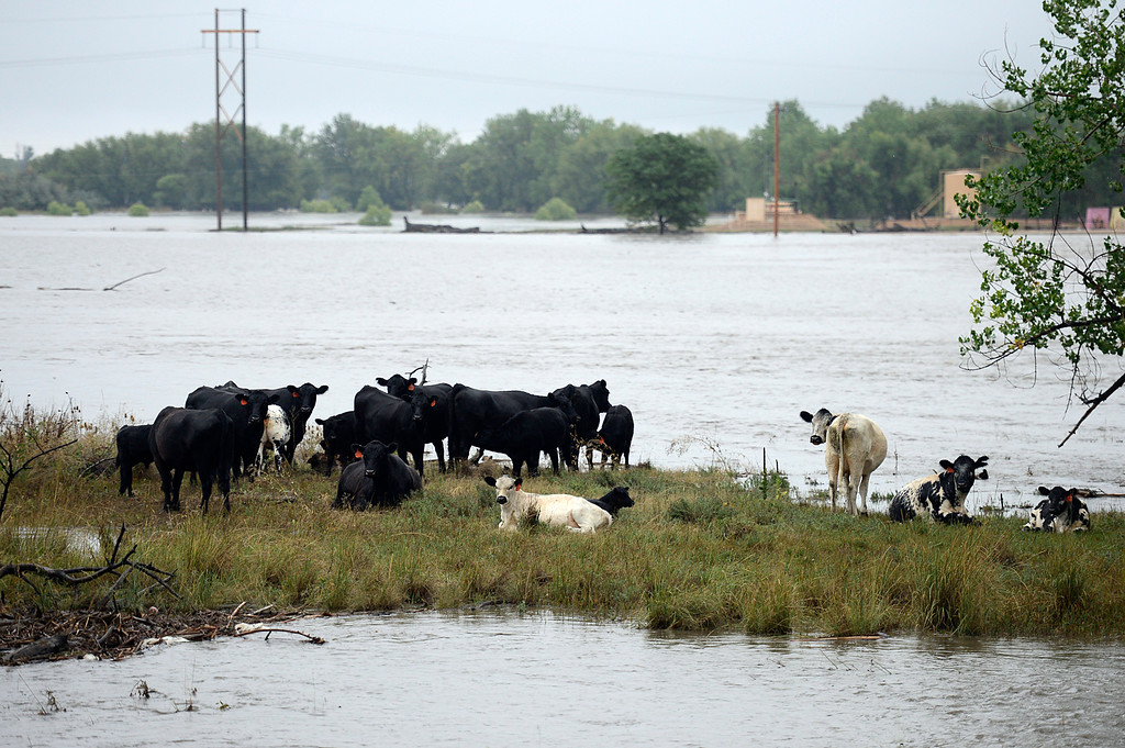 Description of . Cows are stranded in a field along Boulder Creek at Hwy. 287, near Alexander Dawson, Thursday morning Sept. 12, 2013. (Lewis Geyer/Times-Call)