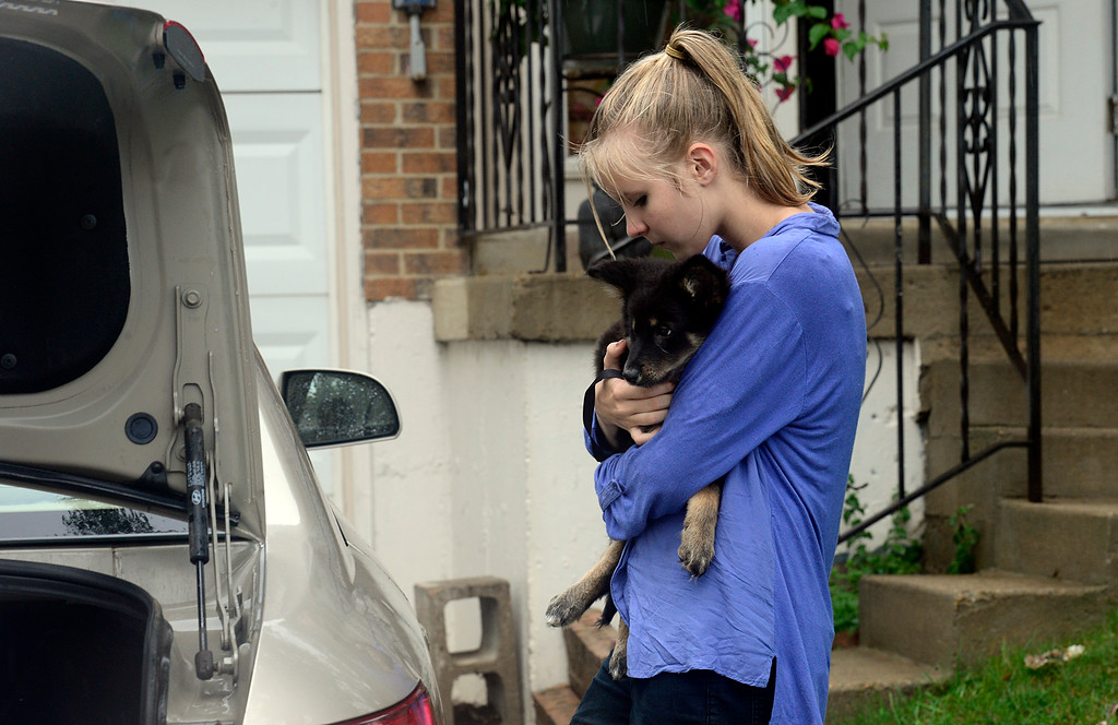 Description of . Ella Johnson, 12, loads her puppy Virginia into her car as her family evacuates their S. Bowen Street home 9:45 a.m. Thursday Sept. 12, 2013. (Lewis Geyer/Times-Call)