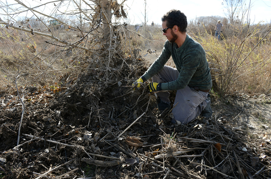 Description of . Matthew Kanode, of Fort Collins, removes flood debris from around a tree at St. Vrain State Park Saturday Nov. 16, 2013. (Lewis Geyer/Times-Call)