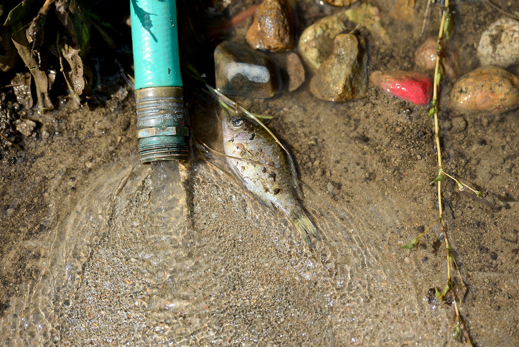 . A dead fish is seen next to a hose attached to a pump in a basement on Twin Peaks Circle, Monday, Sept. 16, 2013, in Longmont. (Matthew Jonas/Times-Call)