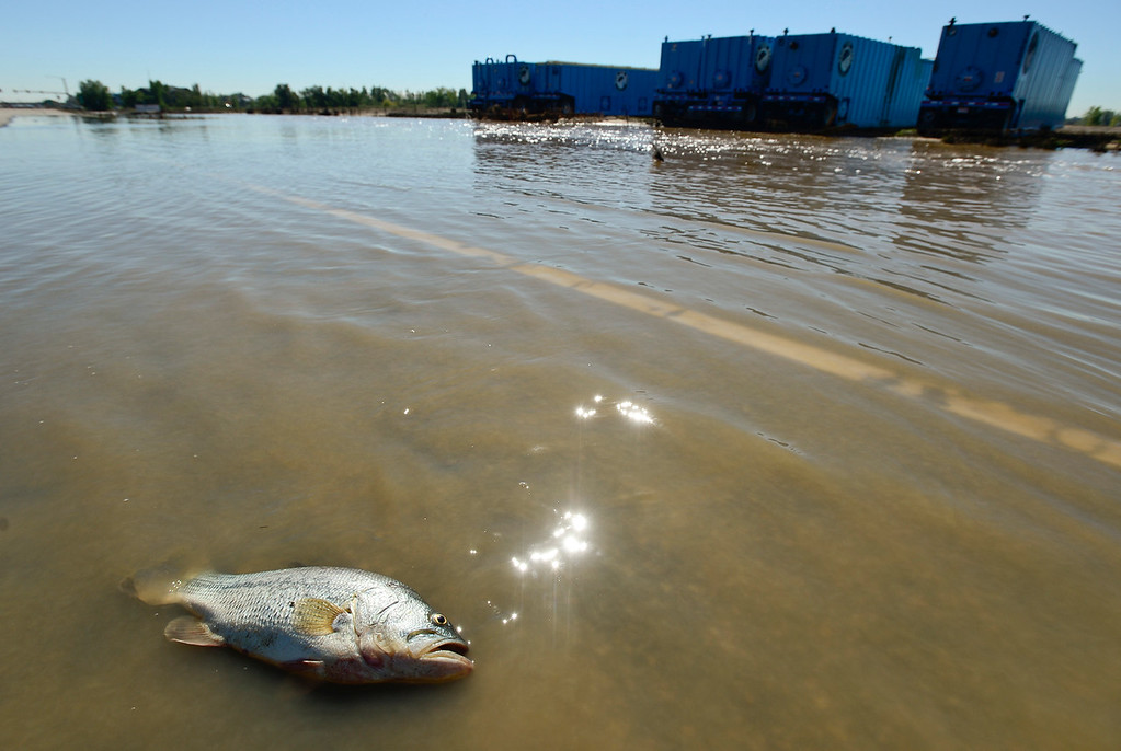 . A dead fish is seen on Highway 119 near water storage tanks east of Longmont, Tuesday, Sept. 17, 2013, in Weld County. (Matthew Jonas/Times-Call)